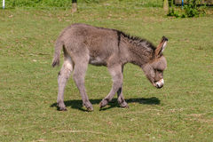 Two months old young baby donkey foal walking across a field. Two months old young baby donkey foal walking across a sunny grass field royalty free stock photos