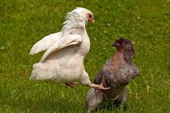 Roosters fighting of the two-month breed Hedemora from Sweden. Two months young cocks off the breed Hedemora from Sweden, training and practicing to fight for Stock Photo