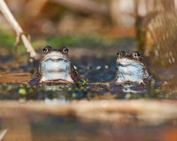 Two Moor Frogs Rana Arvalis Looking Royalty Free Stock Images