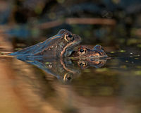 Two moor frogs rana arvalis Royalty Free Stock Image