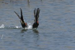 Moorhen duck flying on lake. Two moorhen duck flying on lake Royalty Free Stock Photo