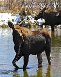 Two Moose. A pair of moose feeding in a beaver pond at Grand Teton National Park Stock Image