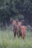 Two moose calf Royalty Free Stock Image