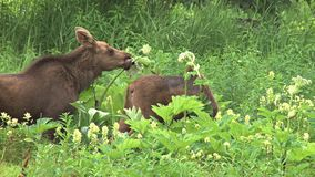 Two moose calves munching in the grass. Video of two moose calves munching in the grass stock footage