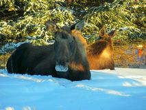 Two moose resting Royalty Free Stock Images