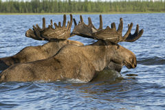 Two moose swimming in the lake. Royalty Free Stock Images