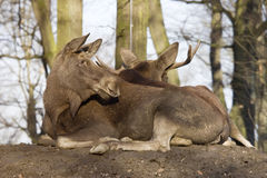 Free Two Mooses Resting Stock Photo - 4414570