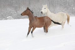 Two moravian warmbloods running in winter Royalty Free Stock Photography