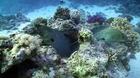 Two Moray on Coral Reef stock footage