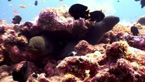 Two Moray eel underwater on coral reef seabed in Maldives. Unique amazing macro video closeup footage. Abyssal relax diving. Natural aquarium of sea and ocean stock footage