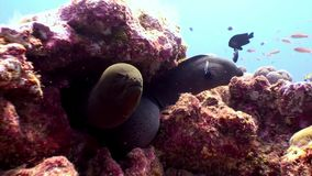 Two Moray eel underwater on coral reef seabed in Maldives. Unique amazing macro video closeup footage. Abyssal relax diving. Natural aquarium of sea and ocean stock video footage