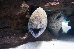 Two moray eels in the sea Royalty Free Stock Photos