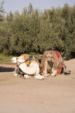 Two Moroccan camels Royalty Free Stock Photo