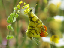 Two Moroccan orange tip butterflies. Brightly coloured Moroccan orange tip butterflies, joined together in mating. Anthocharis euphenoides . Photograph taken stock photography