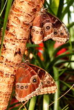 Two Closewinged Morpho Butterflies,aka,morpho peleides Stock Image