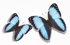 Two Morpho Butterflies Stock Image
