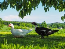 Two Moschus ducks. Walking over green field under tree Royalty Free Stock Photos