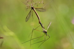 Two mosquito copulating in the grass Stock Images