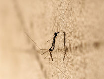 Two mosquitos mating. On a board at night Royalty Free Stock Image