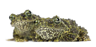 Two Mossy Frogs, Theloderma corticale. Also known as a Vietnamese Mossy Frog, or Tonkin Bug-eyed Frog, portrait against white background Stock Photo