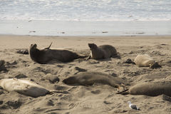 Two mother seals on the beach Stock Images