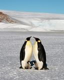 Two mothers penguins stand and talk, next to them are their babies. Colony, flock - Emperor Penguins in Antarctica. Colony, flock - Emperor Penguins in royalty free stock images