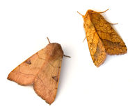 Two Moths royalty free stock photo