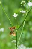 Two moths couple. On a flower stalk Stock Photo