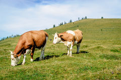 Two mottled cows standing in the meadow Royalty Free Stock Image