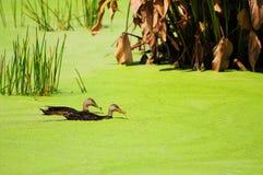 Two Mottled Ducks Stock Photo