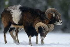 Two mouflon male in the winter Stock Photo