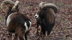 Two Mouflons. A pair of mouflons sheep standing on autumnal wildflife background stock video footage
