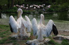 Two moulting pink pelicans. Royalty Free Stock Photo