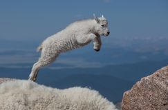 Baby Mountain Goat Lamb-Leap of Faith. Two Mountain Goat Baby Lamb Jumping Among the Rocks of Mount Evans stock photos