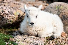 Baby Mountain Goat Lamb in the Rocky Mountains. Two Mountain Goat Baby Lamb Resting Among the Rocks of Mount Evans royalty free stock images