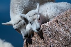 Baby Mountain Goat Lambs Showing Affection. Two Mountain Goat Baby Lamb Showing Affection on Top of Mount Evans - Colorado royalty free stock photography