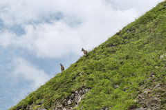 Two mountain goats on green slope. In French Alps stock photo
