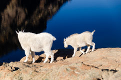 Two mountain goats Stock Images