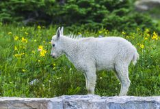Two mountain goats mother and kid in green grass field, Glacier stock photos