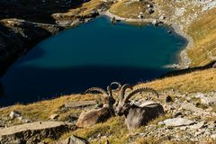Two Mountain Goats Sitting on a Green Grass Covered Slope Near Blue Lake royalty free stock photography