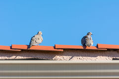 Two Mourning Dove on the roof Stock Photos