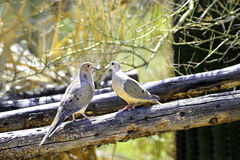 Two Mourning Doves Stock Photo