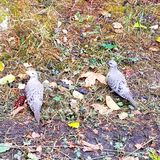 Two mourning doves Stock Photos
