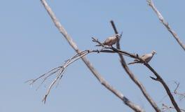 Two mourning doves Zenaida macroura Royalty Free Stock Image