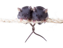 Two mouse on a rope with intertwined tails. Isolated on white ba Stock Image