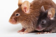 Two mouses. Brown and black, over white background stock image