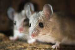 Two mouses in the nest Stock Images