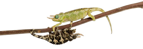 Two Mt. Meru Jackson's Chameleons Royalty Free Stock Image