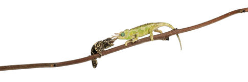 Two Mt. Meru Jackson\'s Chameleons Stock Photos