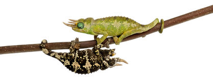 Two Mt. Meru Jackson's Chameleons Stock Images